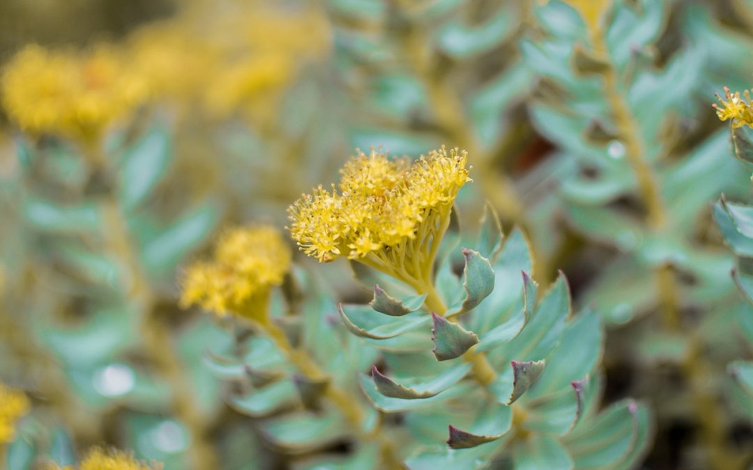 Herbs Rock, Especially Rhodiola